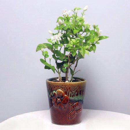Jasmine Plant in Dubai