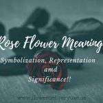 Rose Flower Meaning, Symbolization, Representation, and Significance!!