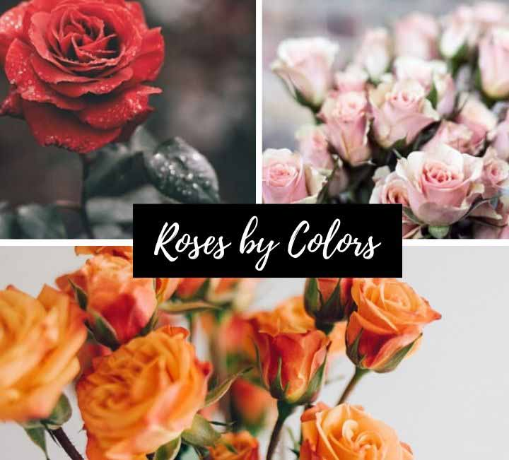 Rose by Colors