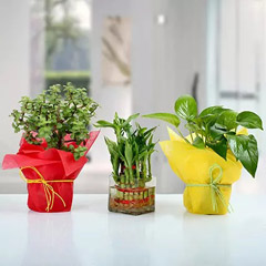 Set of 3 Good Luck Plants