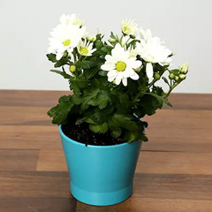 White Chrysanthemums Plant In Blue Ceramic Pot
