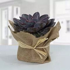 Purple Echeveria Jute Wrapped Plant