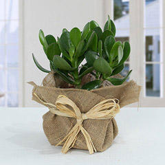 Classic Crassula in Jute Wrapping Pot