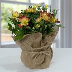 Beautiful Chrysanthemums In Jute Wrapping Pot