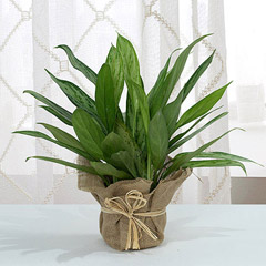 Aglaonema Jute Wrapping Pot