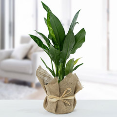 Jute Wrapped Aglaonema Plant