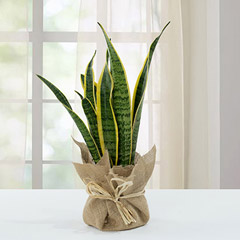 Sanseveria Plant with Jute Wrapping Pot