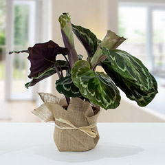 Calathea Plant with Jute Wrapping Pot