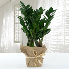 Jute Wrapped Zamia Potted Plant