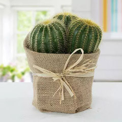 Echinocactus Grusonii Jute Wrapped Pot