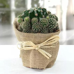 Elegant Cactus with Jute Wrapped Pot