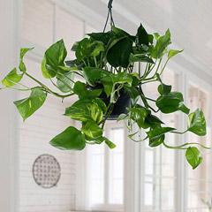 Hanging Epipremnum Aureum Plant