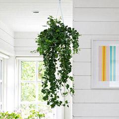 Hanging Hedera Hel Plant