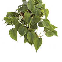 Scindapsus Hang Plant