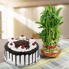Elegant Bamboo Plant with Black Forest Cake