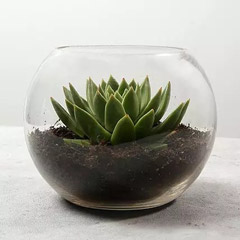 Green Echeveria in Fish Bowl