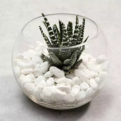 Haworthia in Fish Bowl