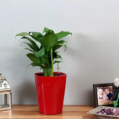 Peace Lily in Red Plastic Pot