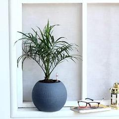 Areca Plam Plant in Plastic Pot