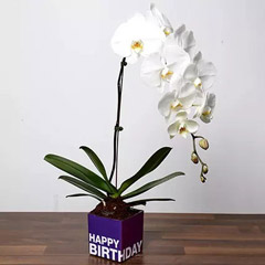 White Phalaenopsis Plant For Birthday