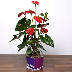 Red Anthurium Plant For Anniversary