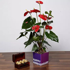 Red Anthurium Plant and Chocolates For Birthday