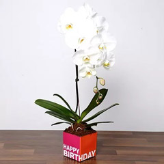White Phalaenopsis Plant In Glass Vase