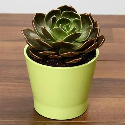 Green Echeveria Plant In Green Ceramic Pot