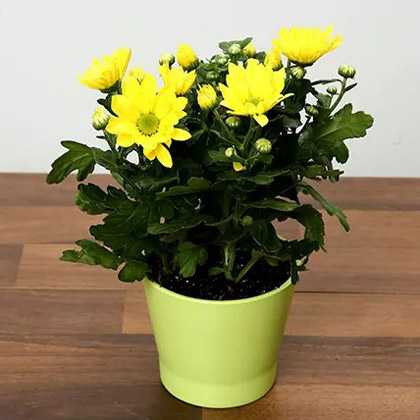 Yellow Chrysanthemums Plant In Green Ceramic Pot
