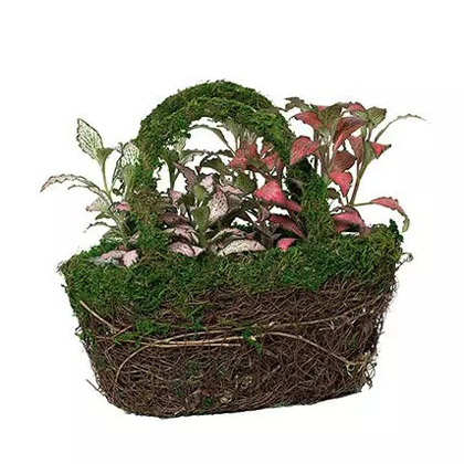 Designer Hand Basket Fittonia Plant