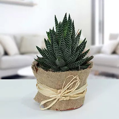 Howarthia Potted Plant In Jute