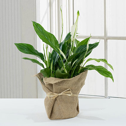 Spathiphyllum Jute Wrapped Potted Plant