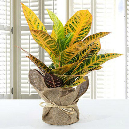 Codiaeum Petra Plant with Jute Wrapped Pot