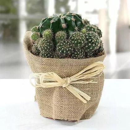 Elegant Cactus with Jute Wrapped Pot