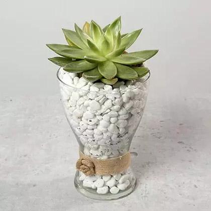 Green Echeveria with Stones in Glass Vase